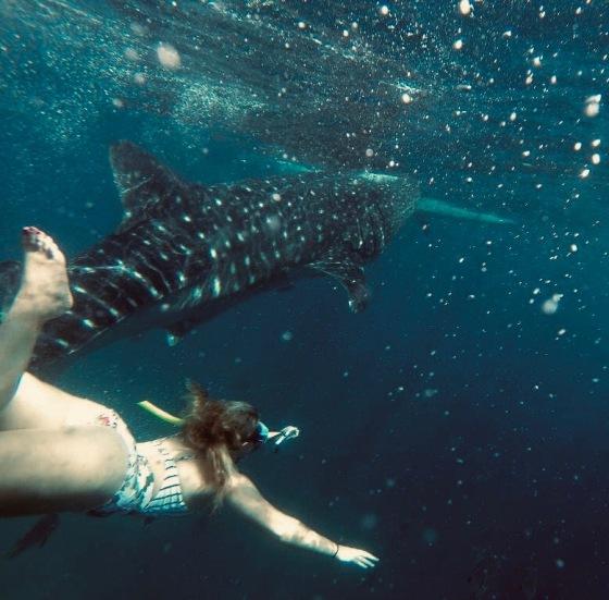 whale shark swimming Oslob, philippines travel